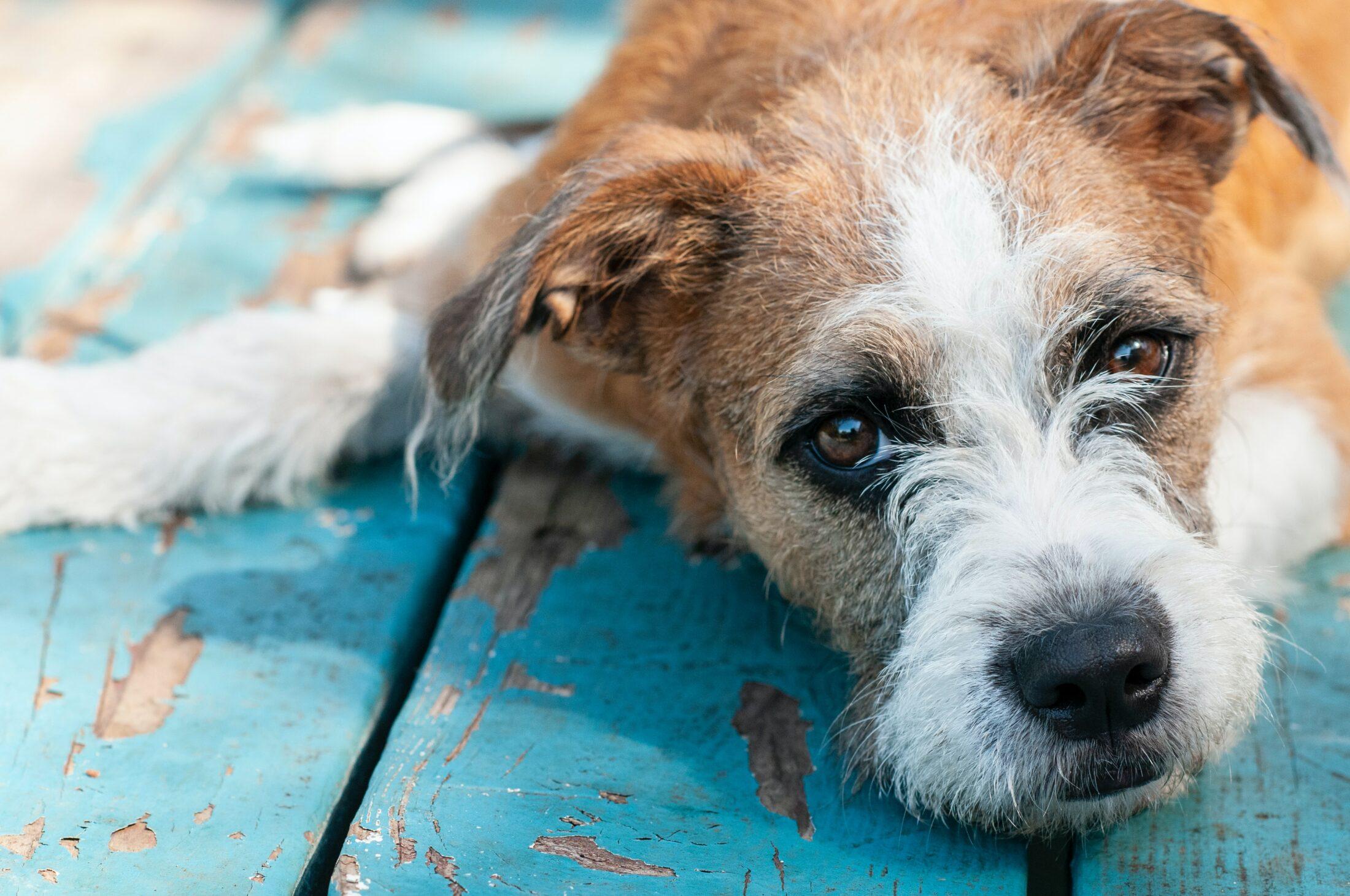 Um cão idoso vai apresentar sinais senis como nós humanos.