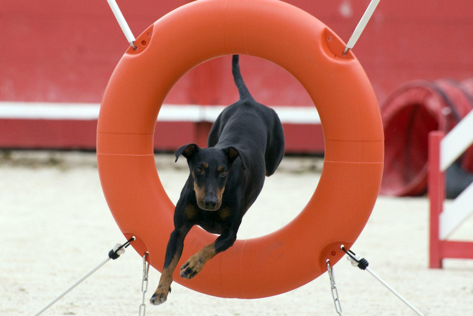 cao-manchester-terrier-atividades