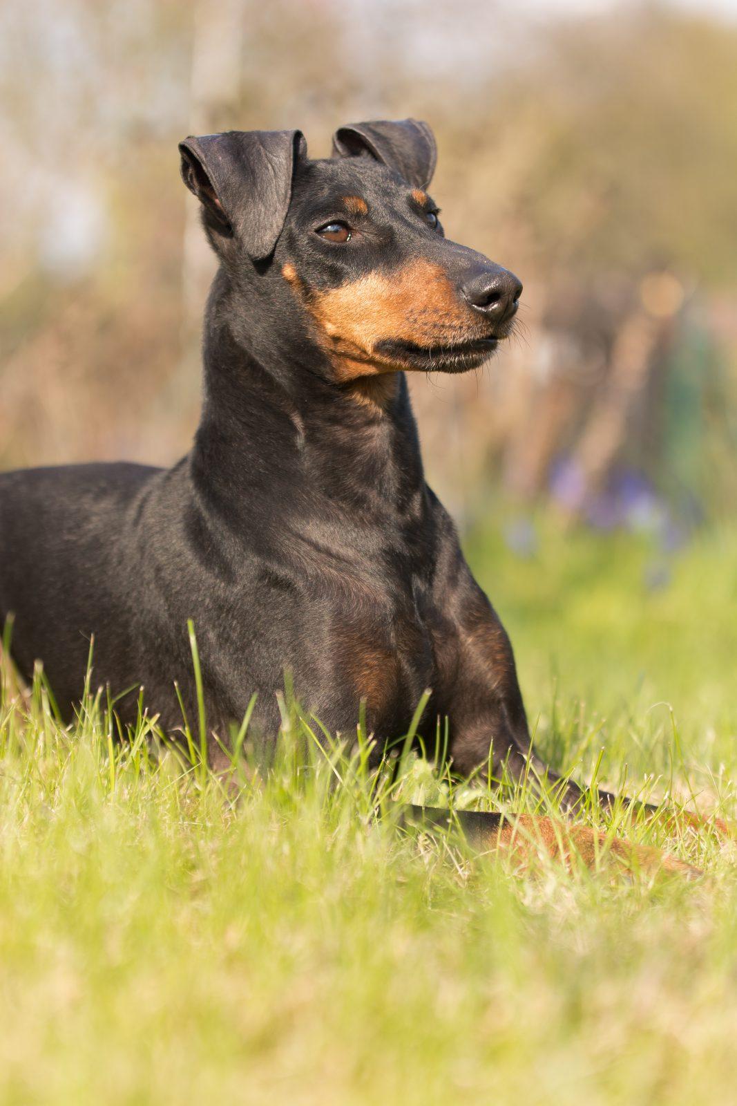 cao-manchester-terrier-temperamento