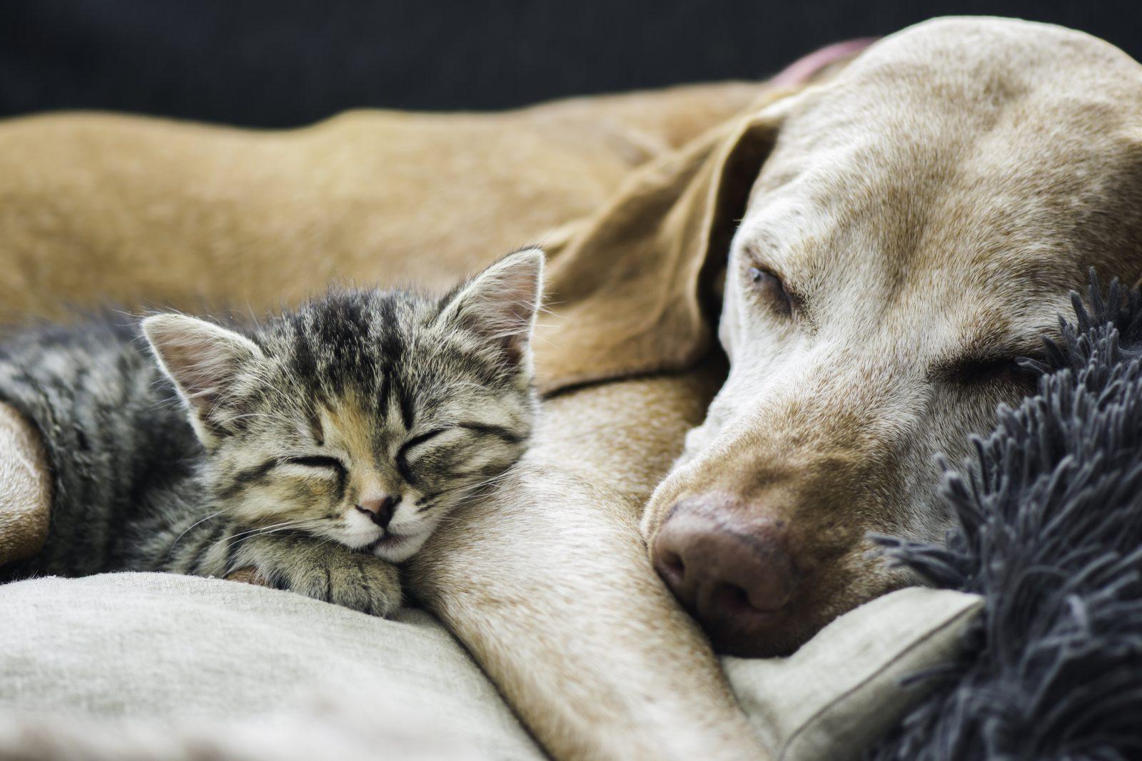 Cuidar de cachorro: Labrador adulto maduro dormindo aconchegado com filhotinho de gato.