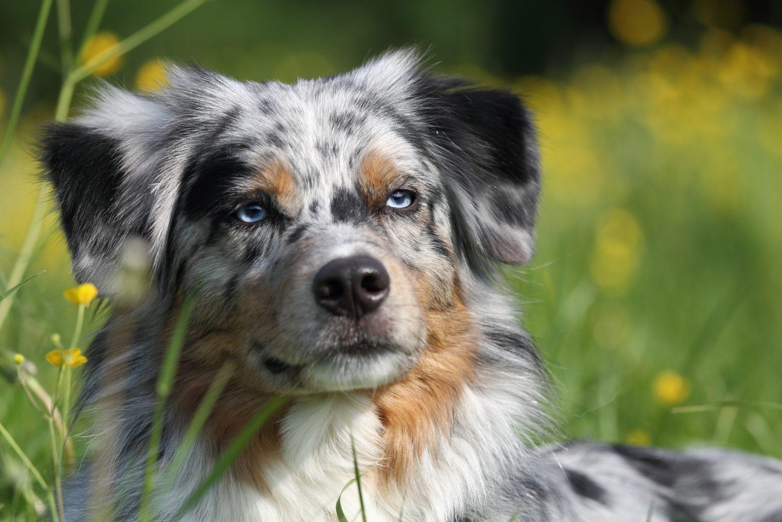 cao-pastor-australiano-aparencia