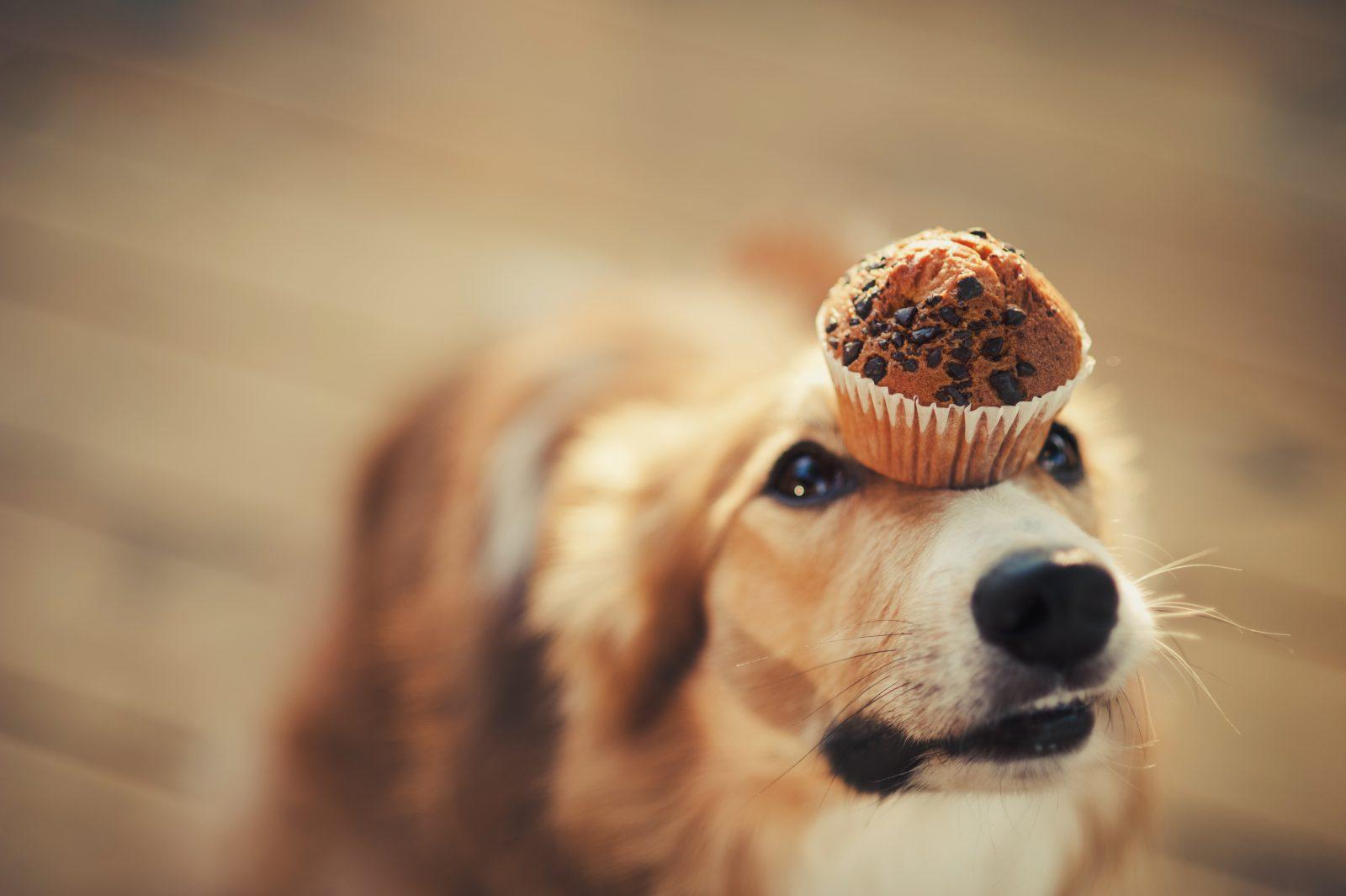 Cuidar de cachorro: Golden Retriever com um cupcake no focinho, prestes a roubá-lo e comê-lo.
