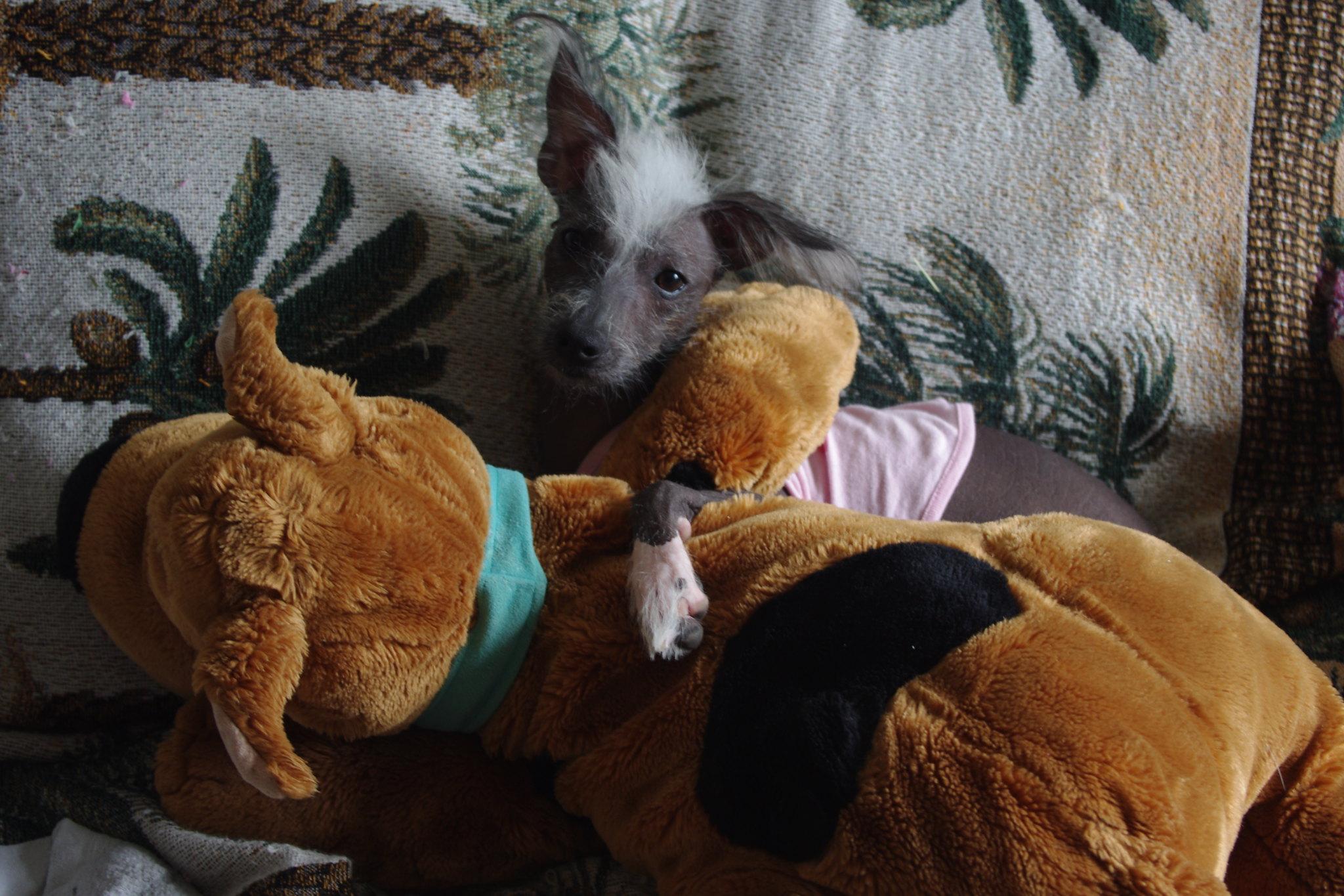 cachorro pelado - cao pelado peruano
