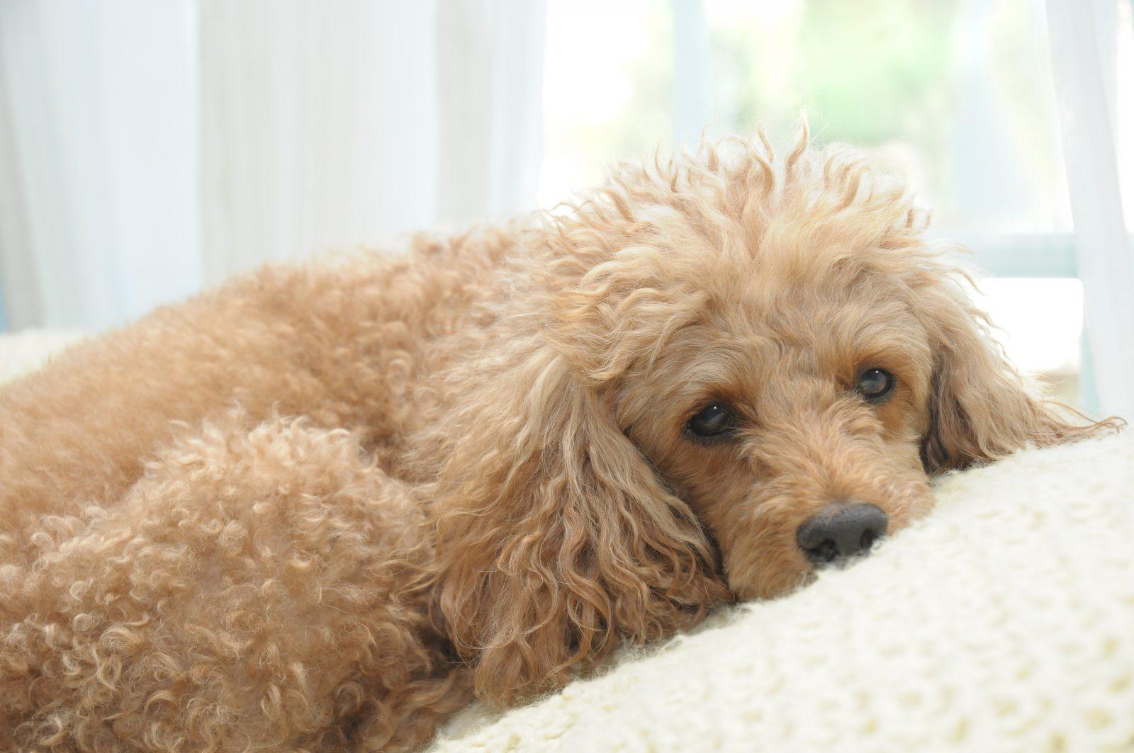 Cachorros pequenos: Poodle caramelo deitado na cama em momento de descanso.