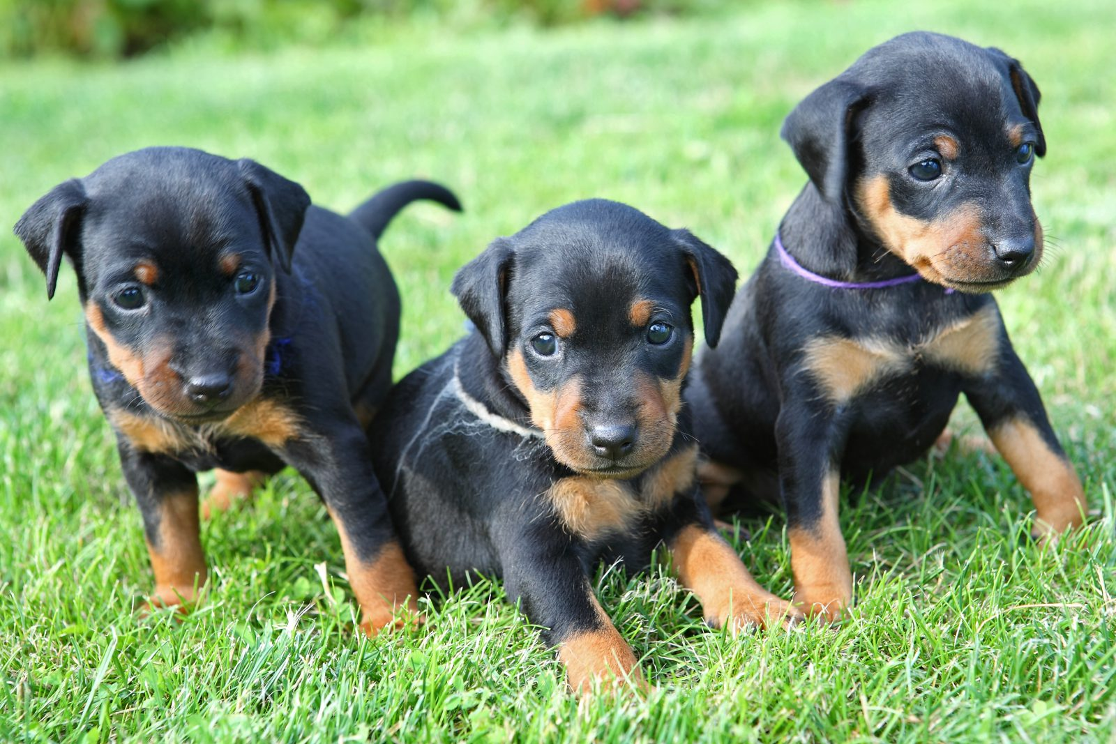 cao-pinscher-alemao-descricao