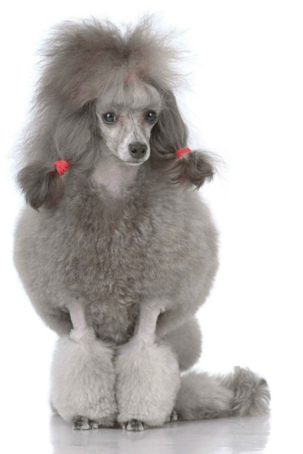 Cortes de pelo para mini poodle