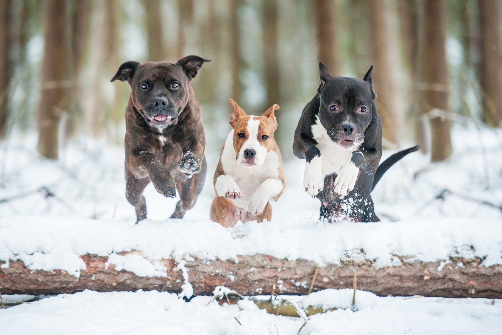 cao-staffordshire-terrier-origem