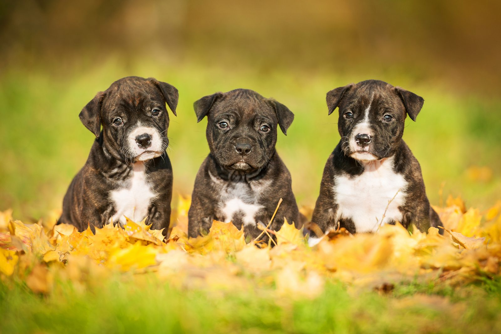 cao-staffordshire-terrier-saude