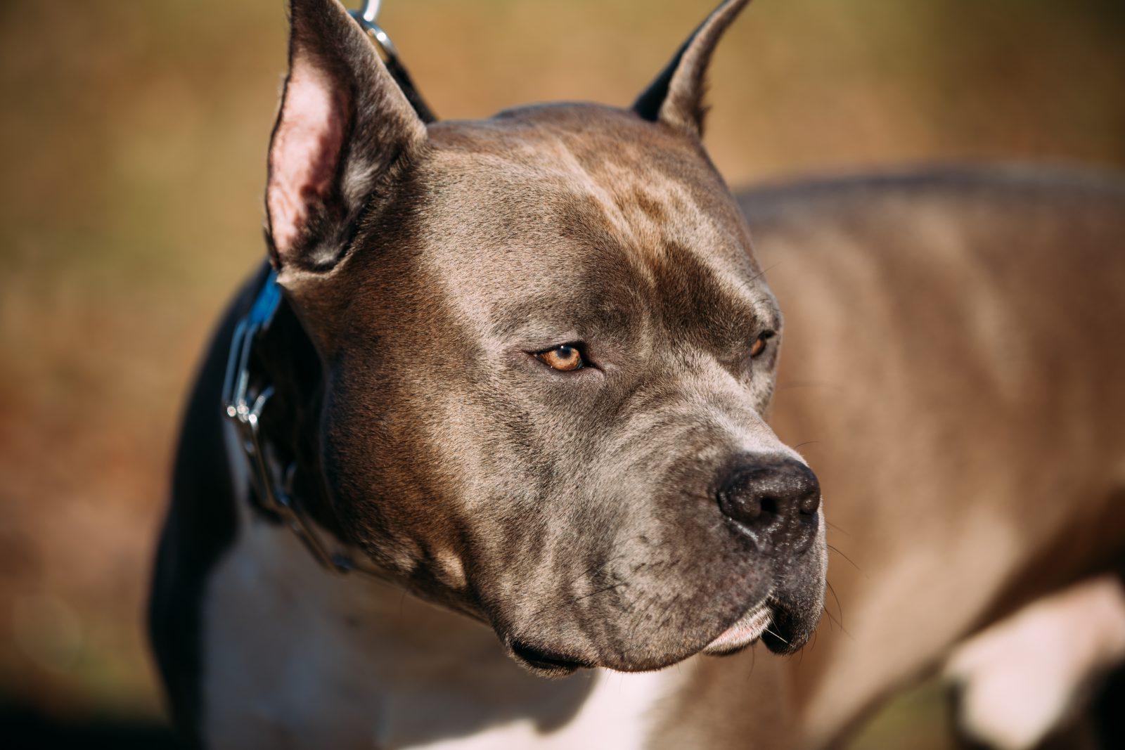 cao-staffordshire-terrier-treinamento