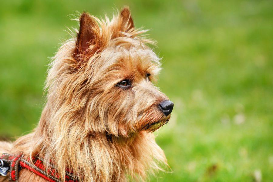 cao-terrier-australiano