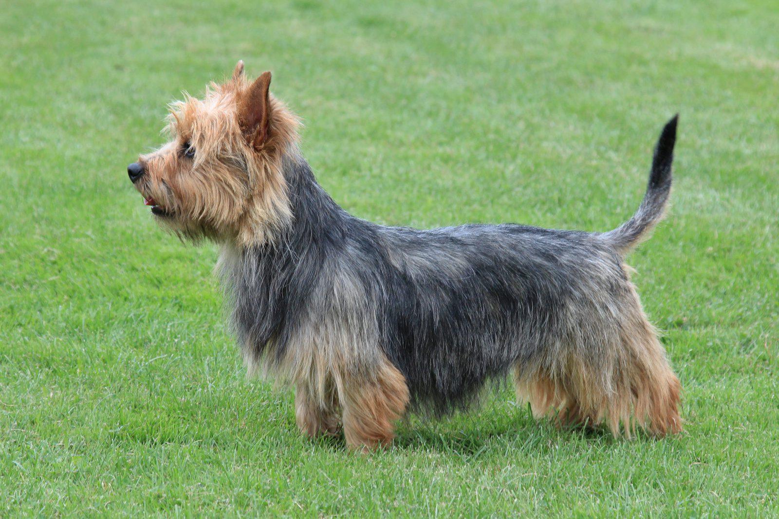cao-terrier-australiano-aparencia