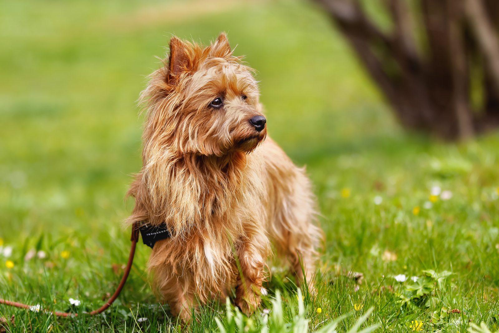 cao-terrier-australiano-atividades
