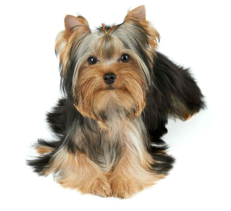 Fotos Yorkshire Terrier Raca Cachorro