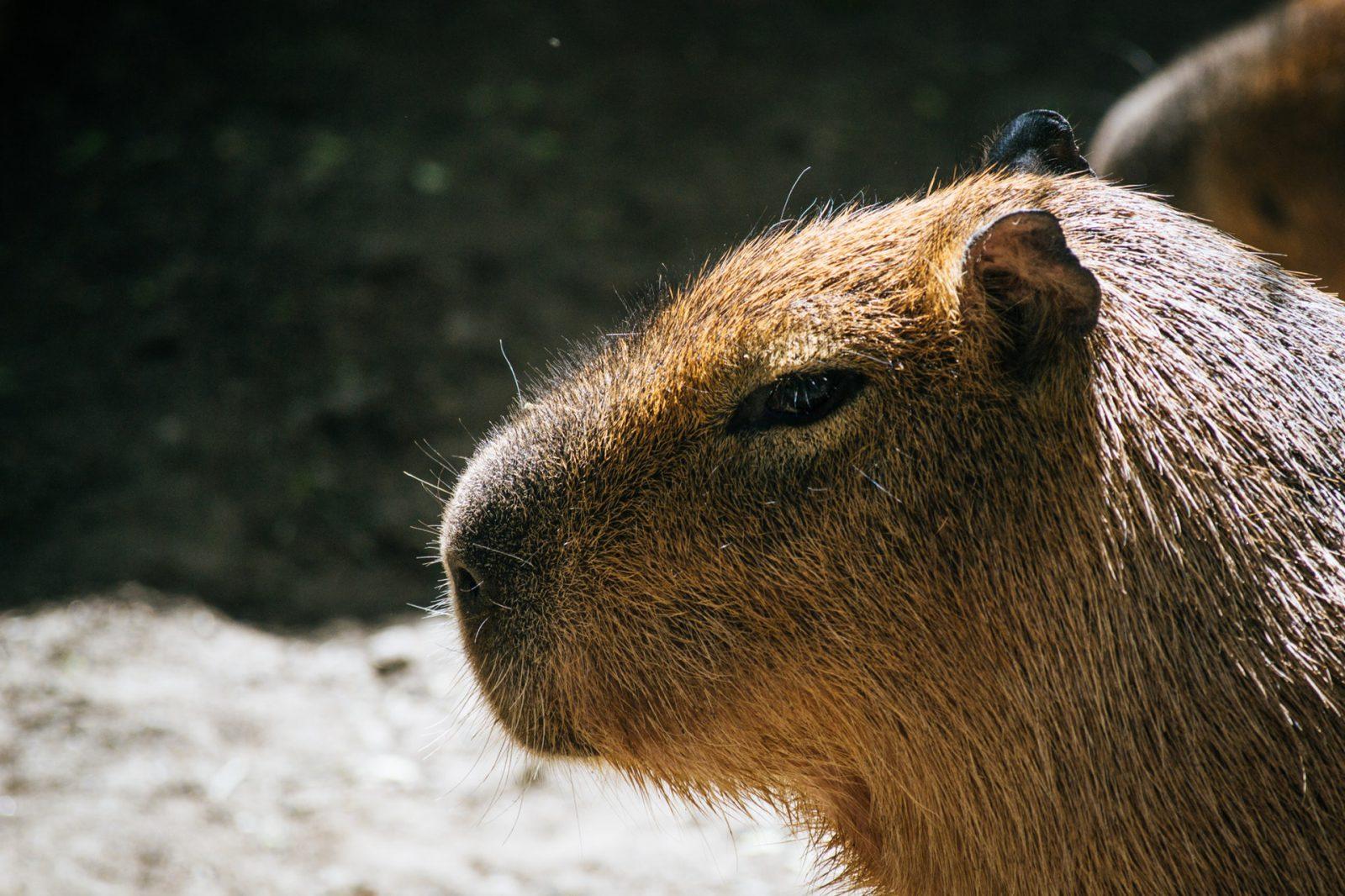 A capivara é um animal bastante antigo.
