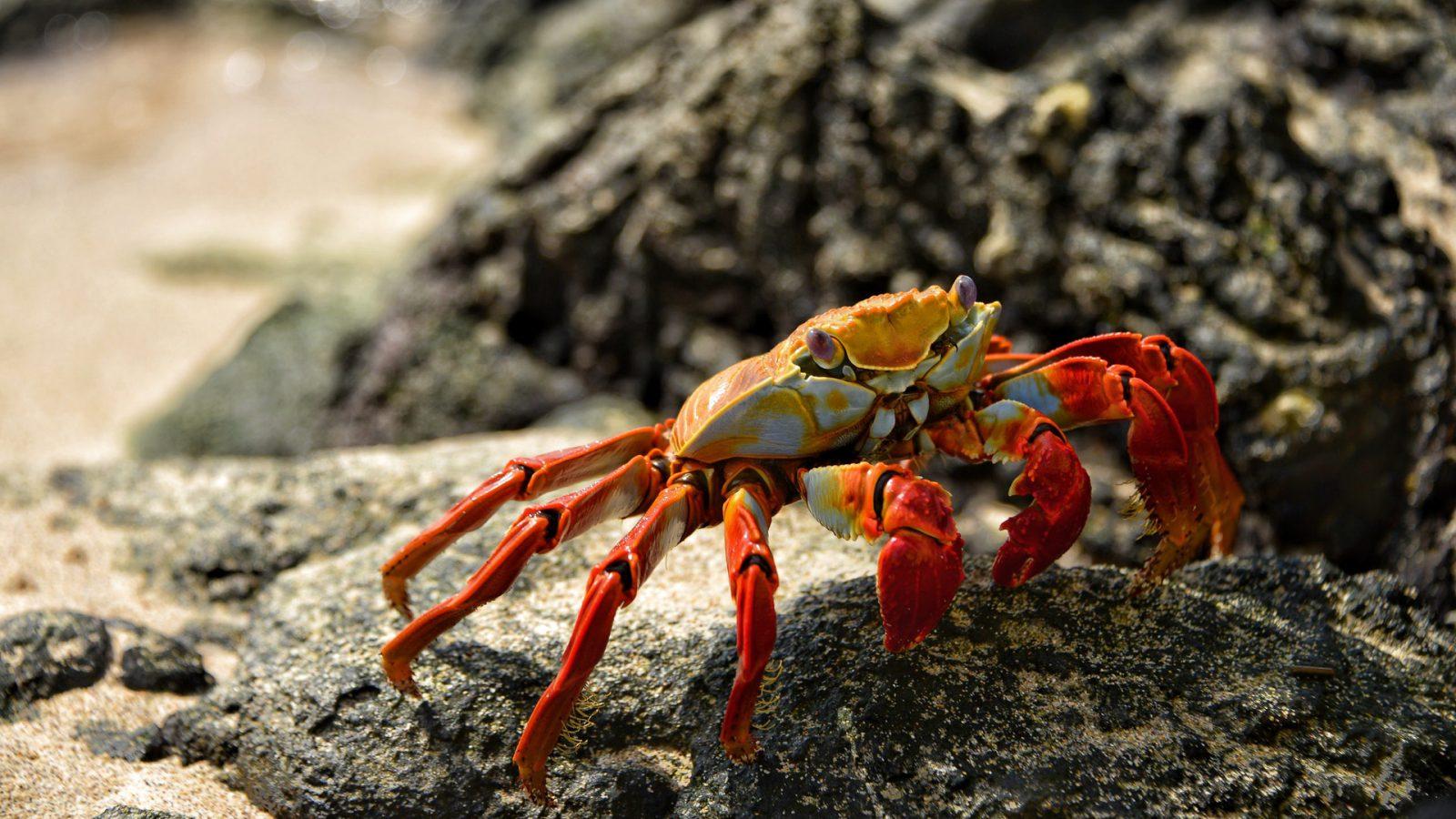 O caranguejo é um crustáceo invertebrado.