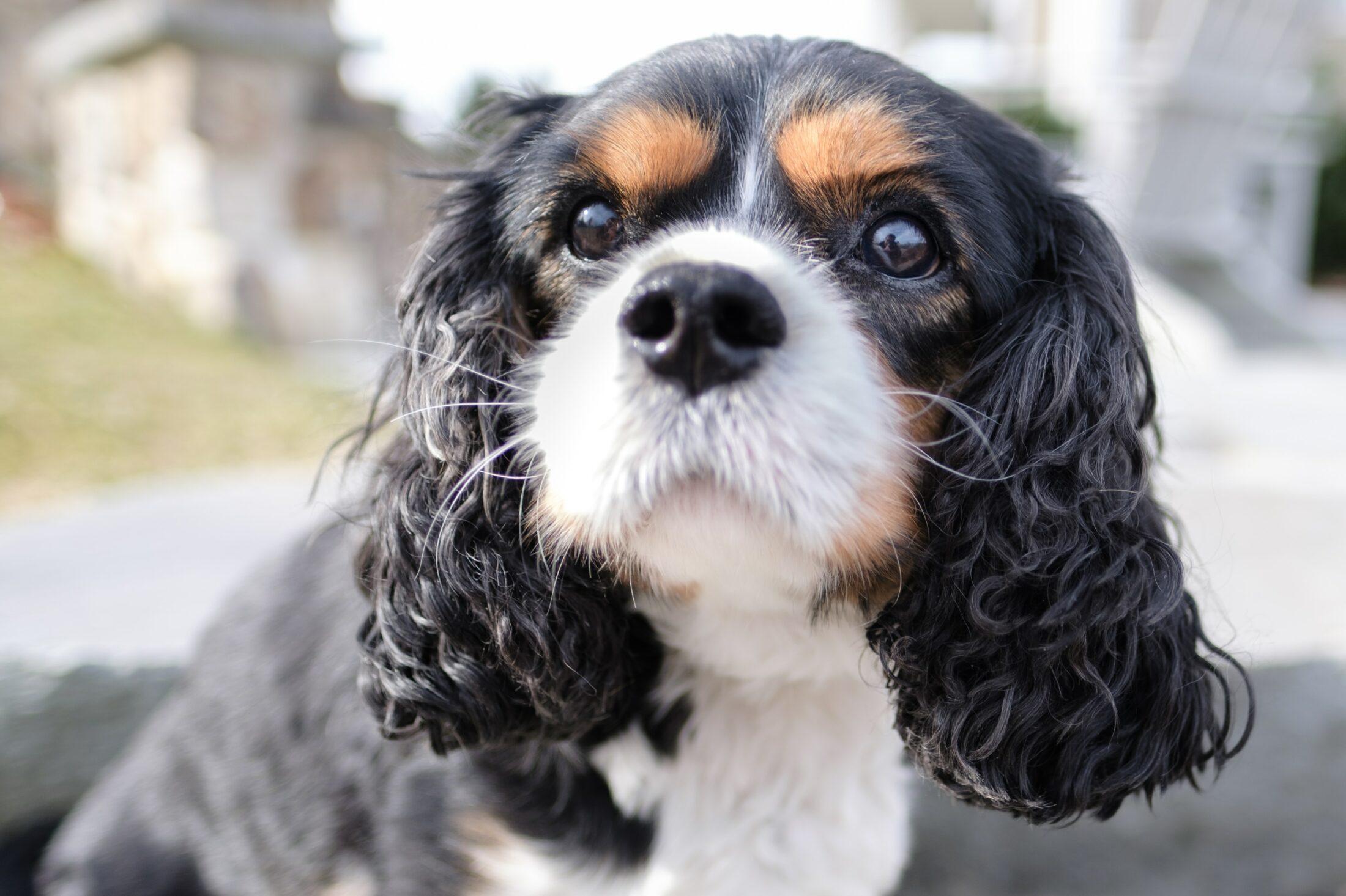 cachorro para idosos cavalier king charles