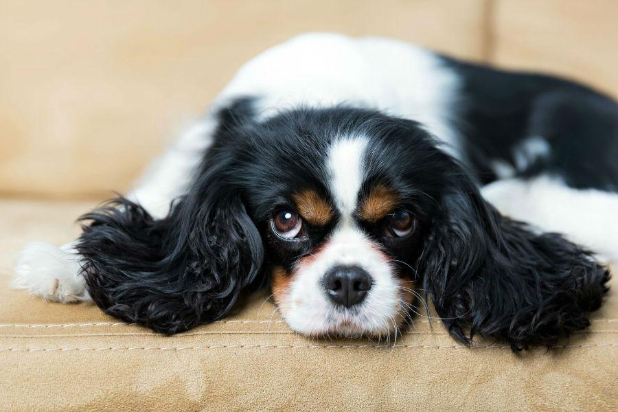 Cachorro pequeno: Cavalier King Charles Spaniel deitado na almofada do sofá.