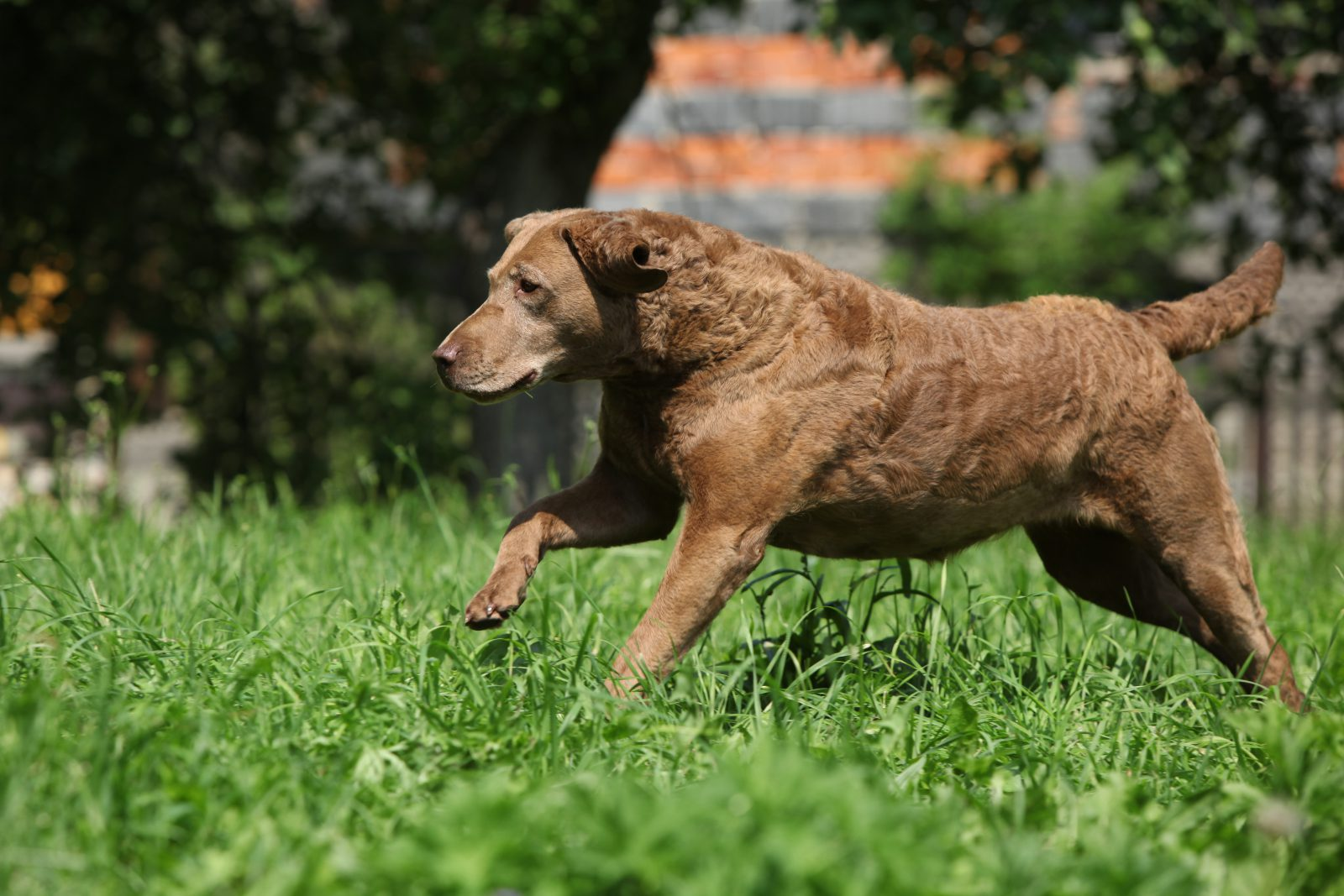 cachorro-chesapeake-bay-retriever-atividades
