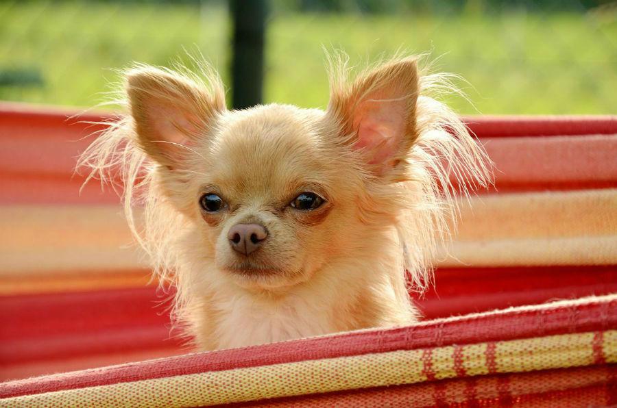 O Chihuahua pode ser treinado a fazer várias atividades.