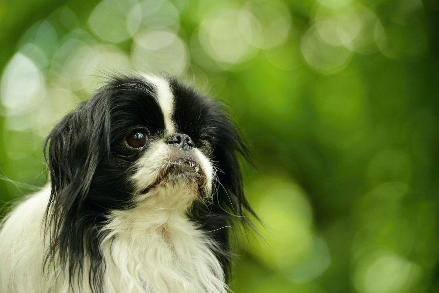 Cachorro pequeno: Chin japonês no jardim.