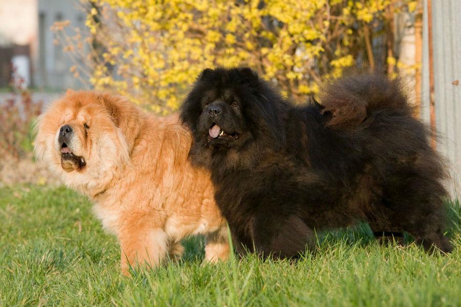 cachorro-chow-chow-aparencia