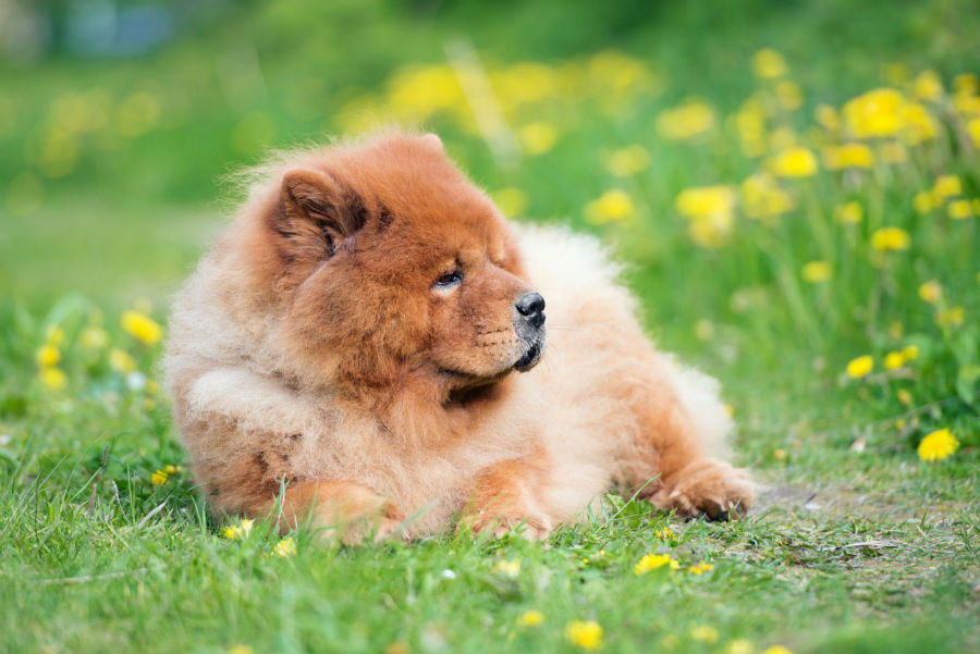 cachorro-chow-chow-atividade