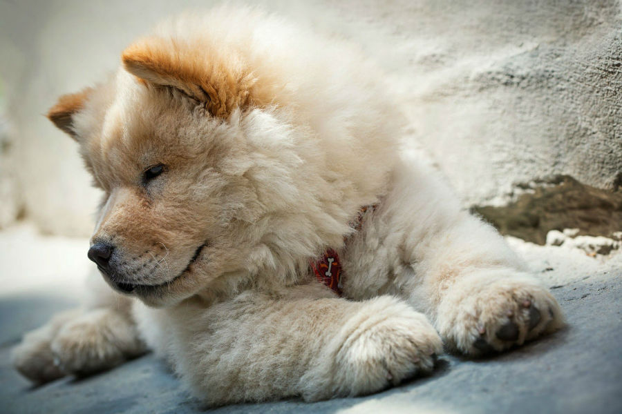 cachorro-chow-chow-origem