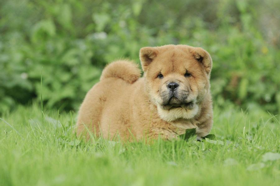 cachorro-chow-chow-saude