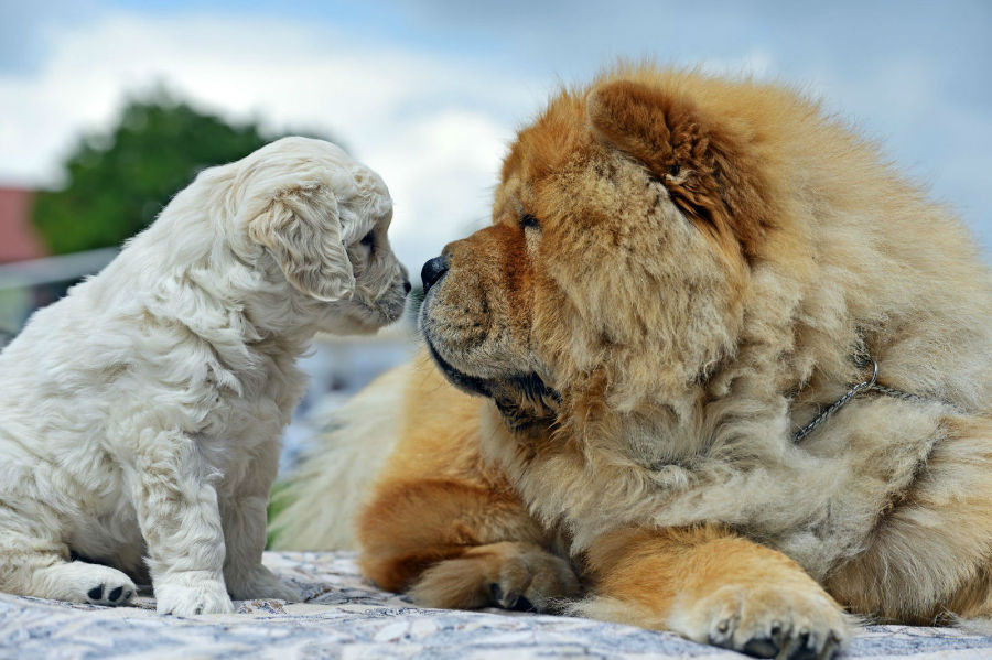 cachorro-chow-chow-temperamento