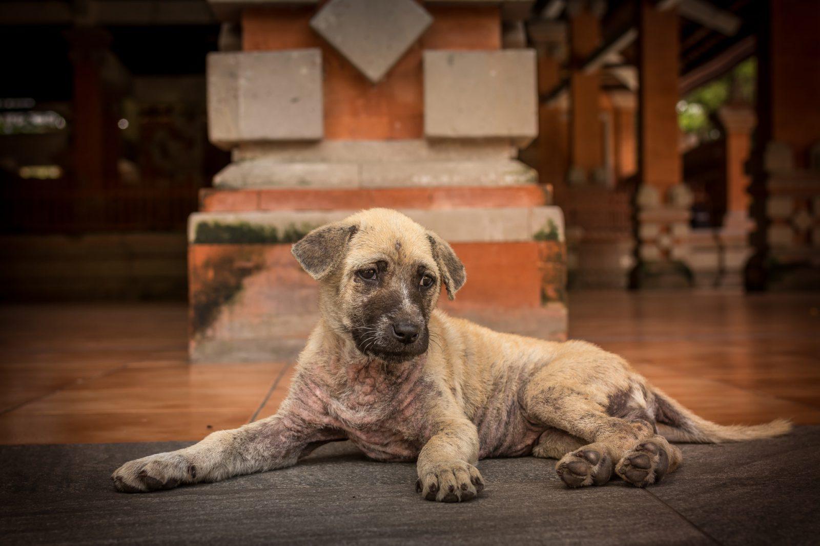 Há cães que podem ficar com algumas sequelas da cinomose.