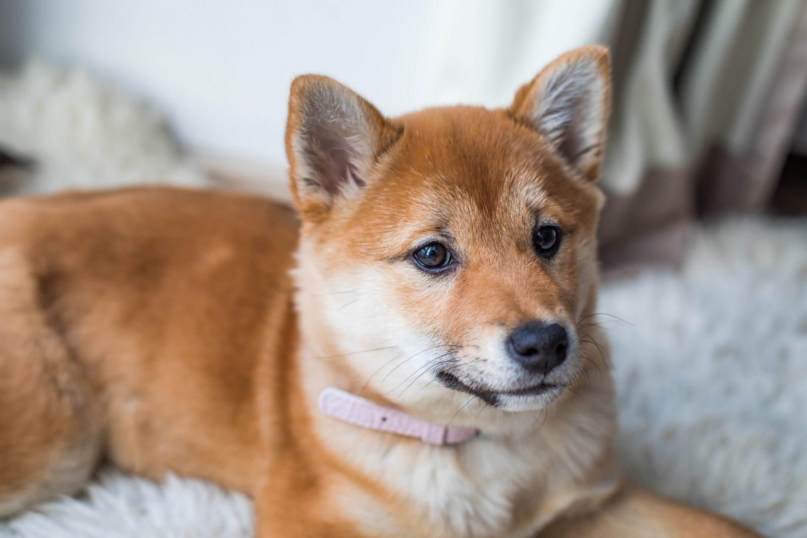 O vírus da cinomose é transmitido por cães infectados pelo ar para outros cachorros