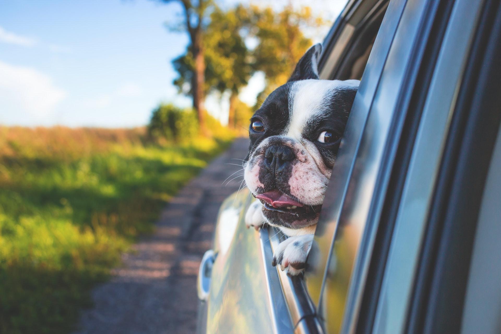 cachorro na janela do carro com cinto de segurança para cachorro