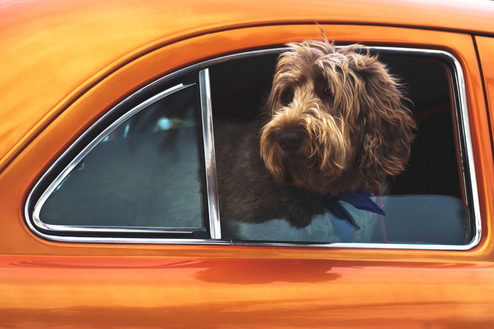 cachorro com cabeça pra fora do carro na janela, mas com cinto de segurança para cachorro