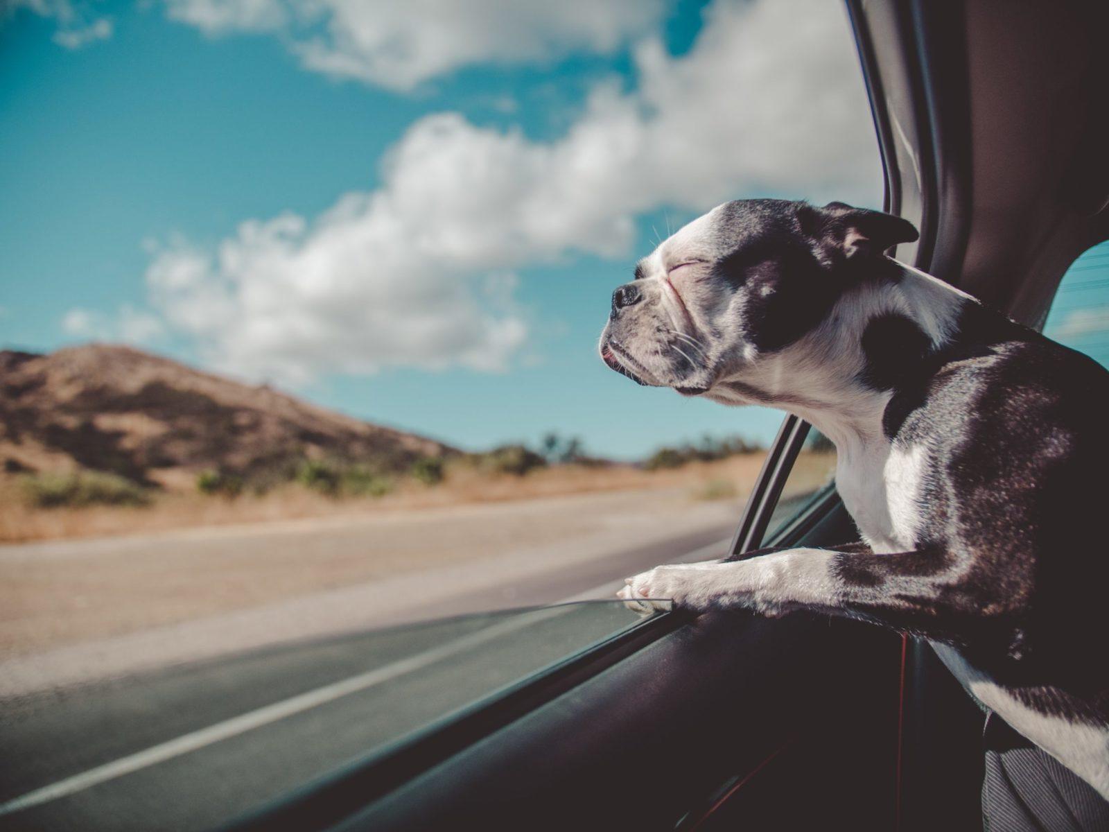 cachorro no banco de trás preso ao cinto de segurança olhando pela janela do carro