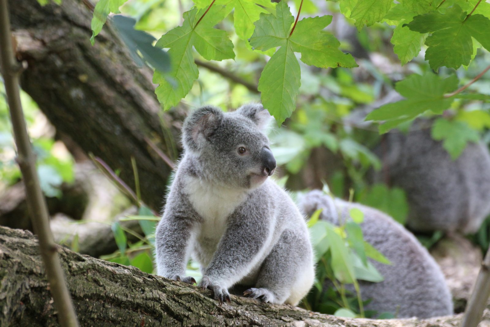 O coala acumula energia para poder digerir o seu alimento.