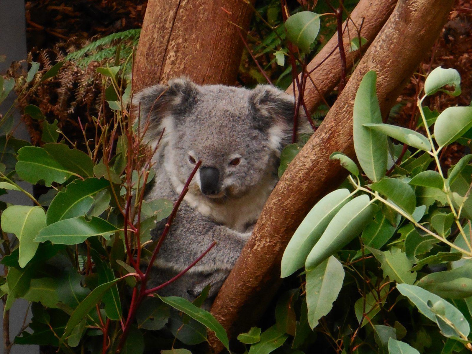 O coala quando pequeno é alimentado pela mãe, depois se alimenta de raízes e vegetais.
