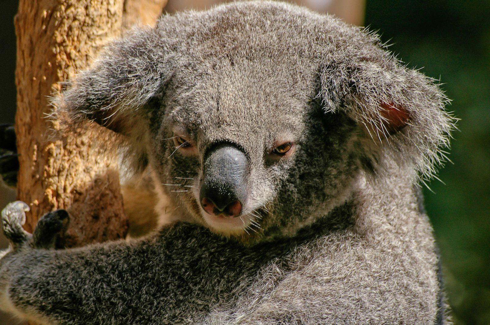 O coala é um animal originário da Austrália.