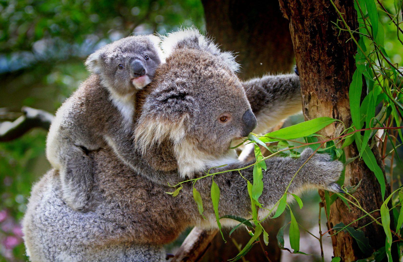 Nem tudo na vida do coala é perfeito, ele também sofre.