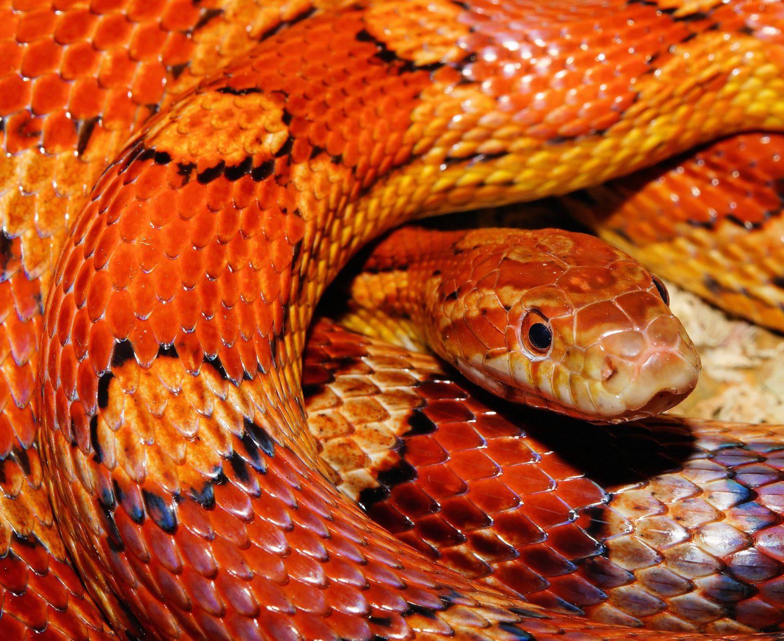 A cobra coral é uma cobra venenosa brasileira.