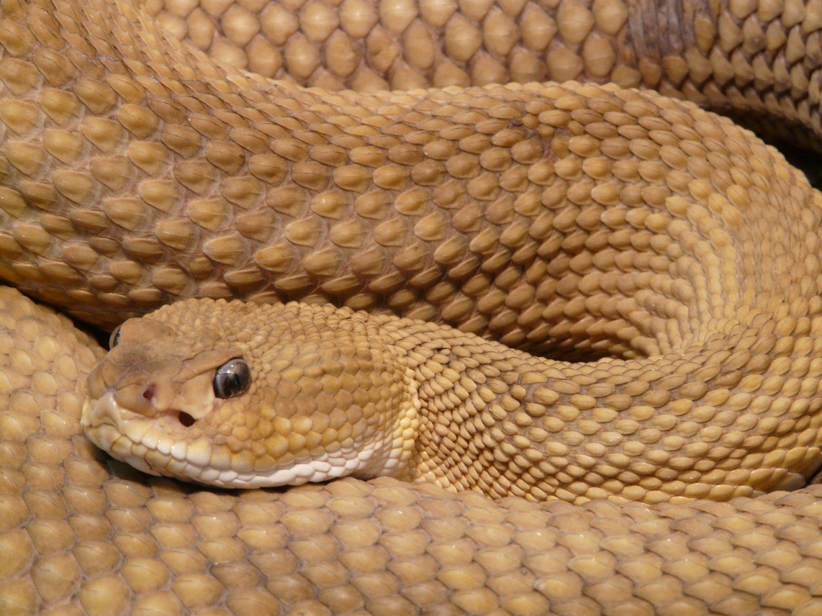Algumas espécies são domesticadas e se tornam cobras de estimação.