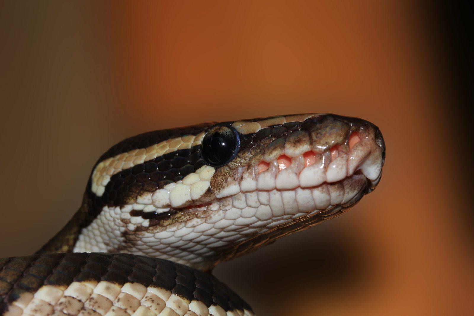 Antes de adquirir uma cobra de estimação é precio saber quais são as espécies corretas.