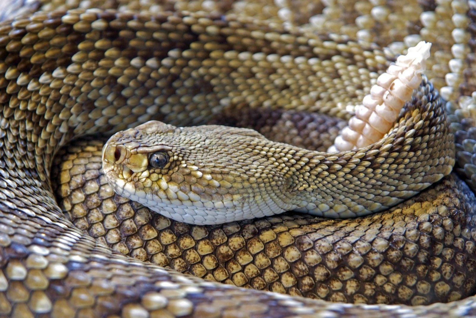 São mais de 600 espécies de cobras venenosas