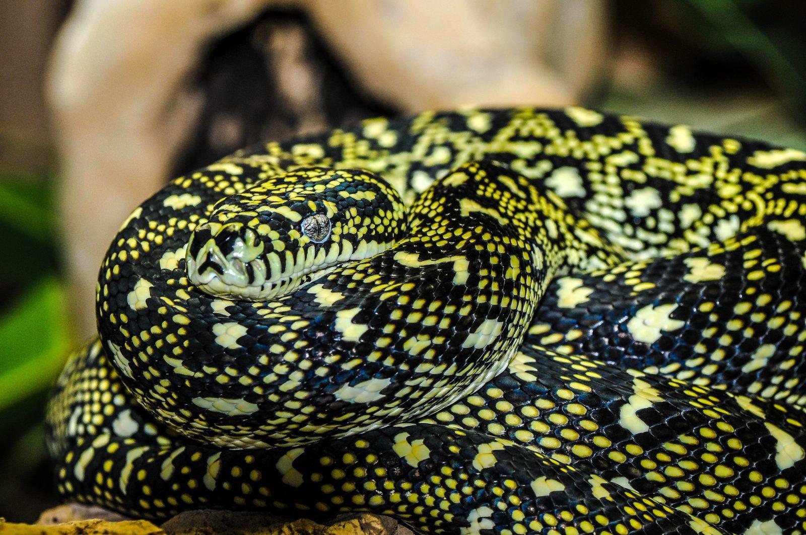 Há diferenças entre cobras venenosas e sem veneno.