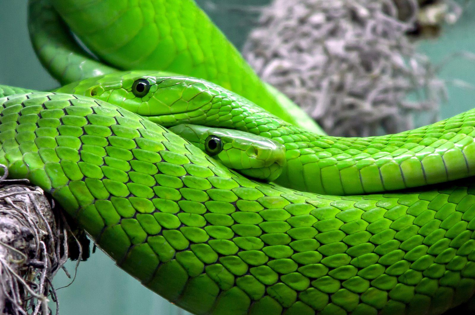 A picada das cobras venenosas possuem diversos efeitos