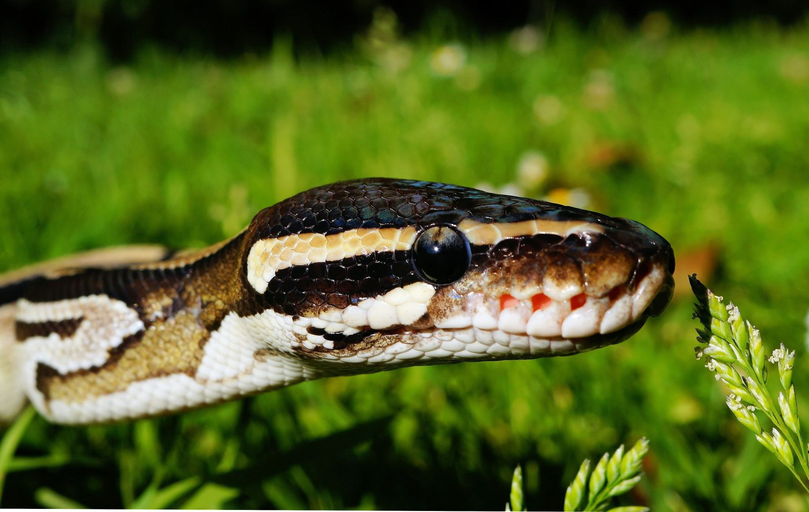 Há alguns procedimentos a ser tomados em caso de picada de cobras venenosas.