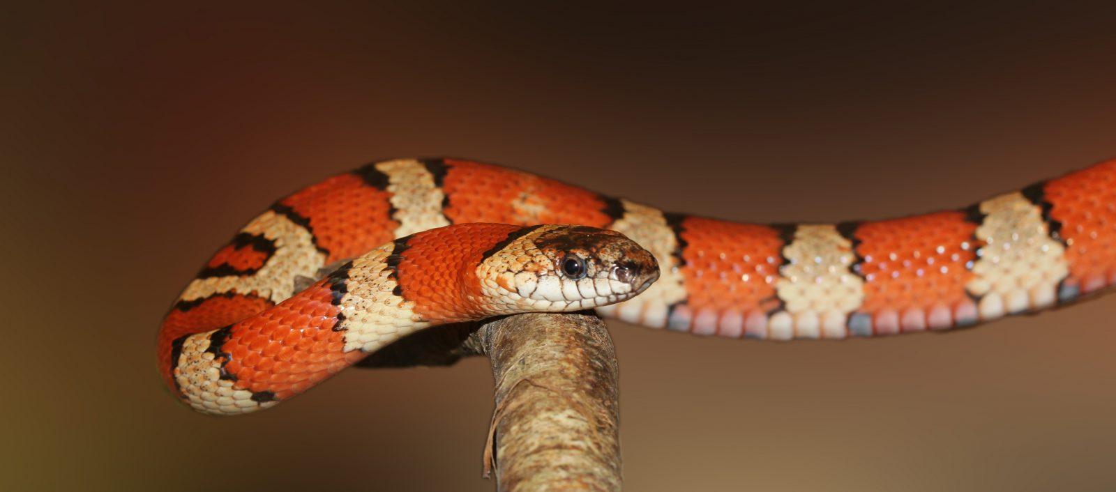 A Coral Verdadeira é uma das cobras venenosas do Brasil.