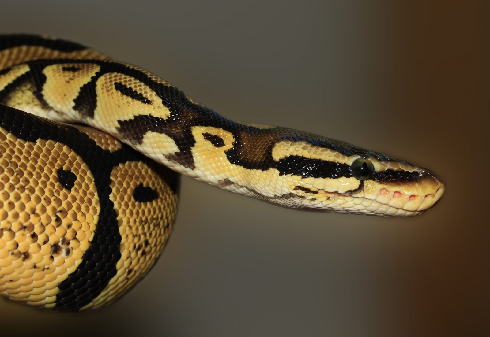 Há locais onde há mais cobras venenosas.