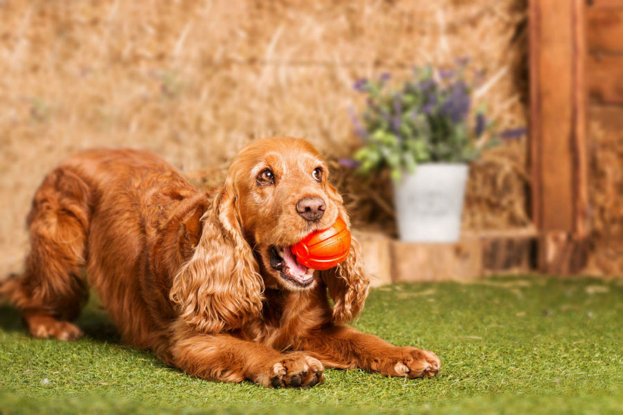 cocker-spaniel-ingles-treinamento