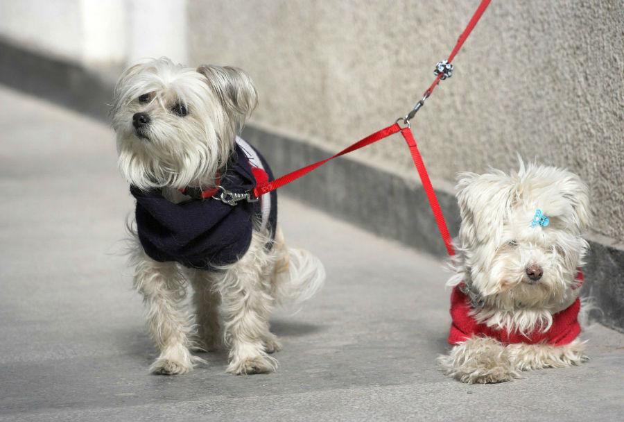 Coleira para cachorro: casal de Malteses de coletes peitorais