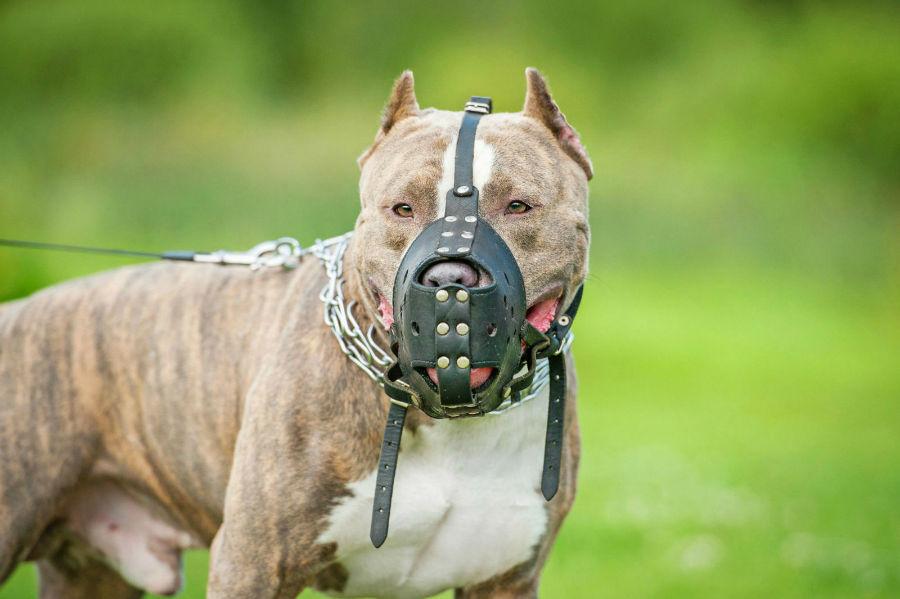 Coleira para cachorro: Pit Bull adulto usando uma focinheira obrigatória da raça em alguns locais
